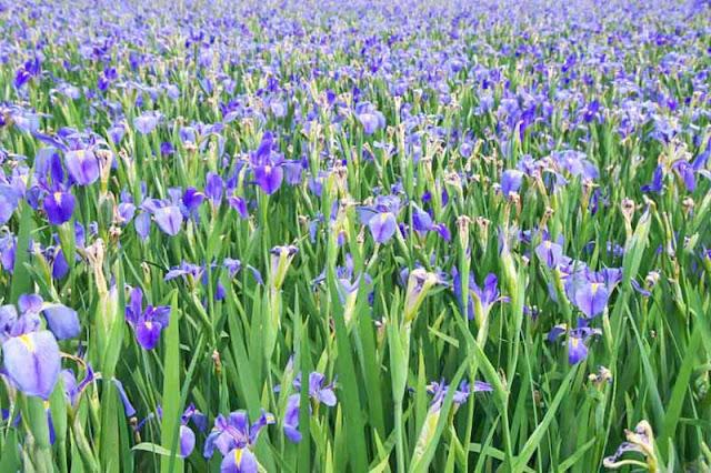 purple iris, flowers, Kijoka, Ogimi, Okinawa