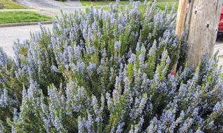 tanaman rosemary pengusir nyamuk
