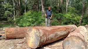 Polisi Selidiki Kayu Olahan Yang Ditemukan di Desa Pemayongan