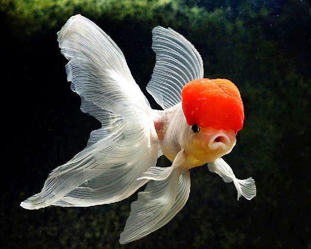 Ikan Mas Koki Oranda