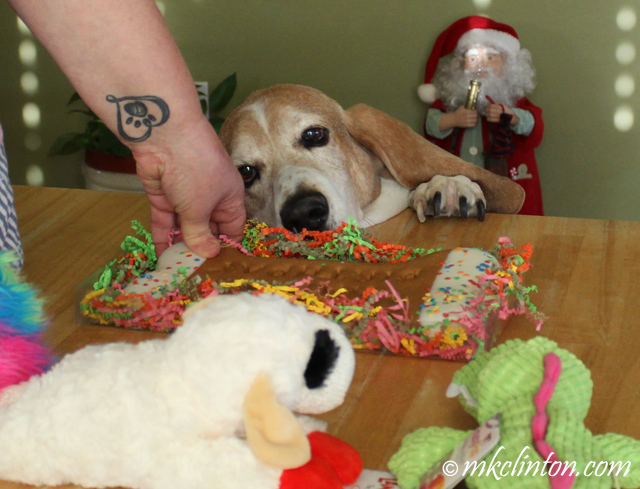 Basset hound looking at his birthday cookie