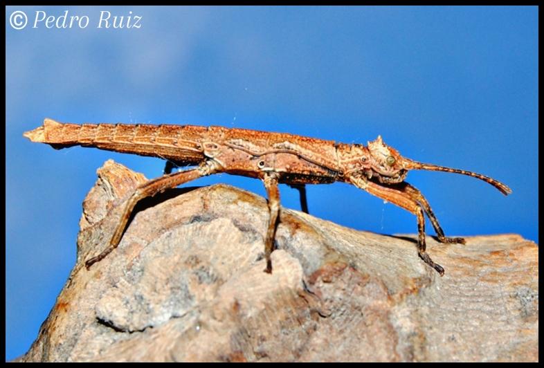 Ninfa macho L3 de Dares philippinensis, 2,4 cm de longitud