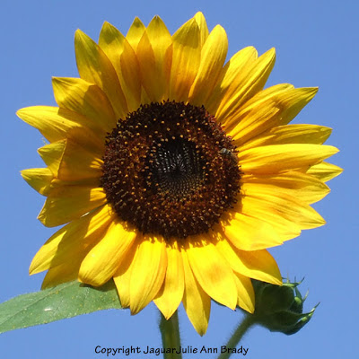 A Sunny Solitary Yellow Sunflower Blossom