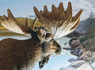 Moose At Freshwater Bay