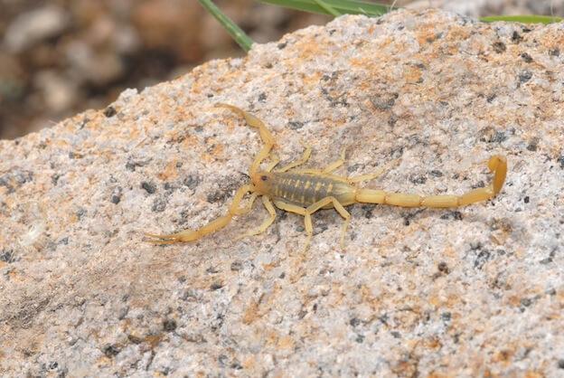 Descubre el Top 8 de los escorpiones más peligrosos del mundo