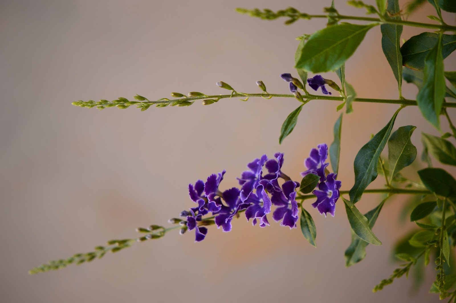 Duranta repens, pigeonberry, dewberry