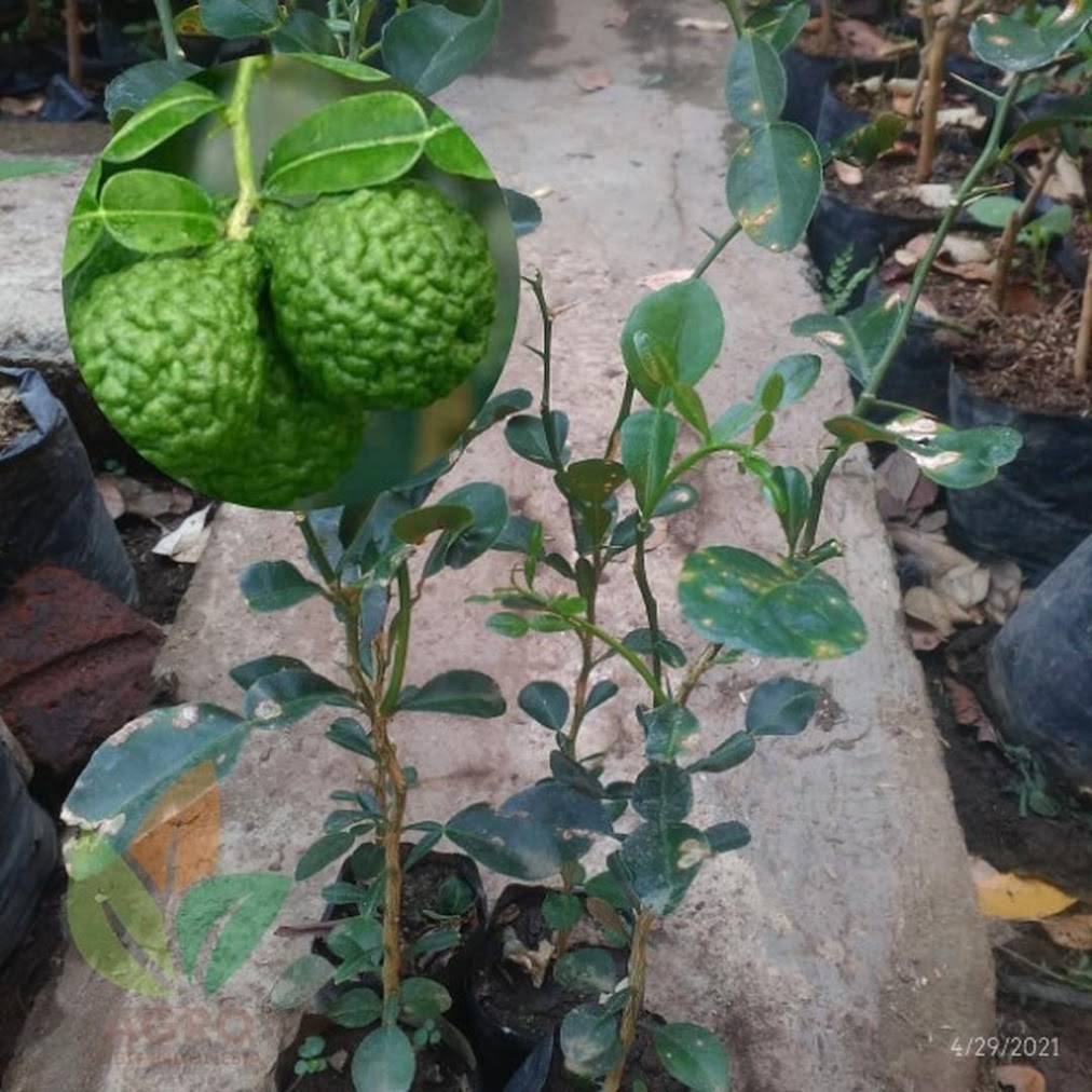 Bibit Daun Jeruk Purut asal Biji Bisa untuk Masak Kalimantan Selatan