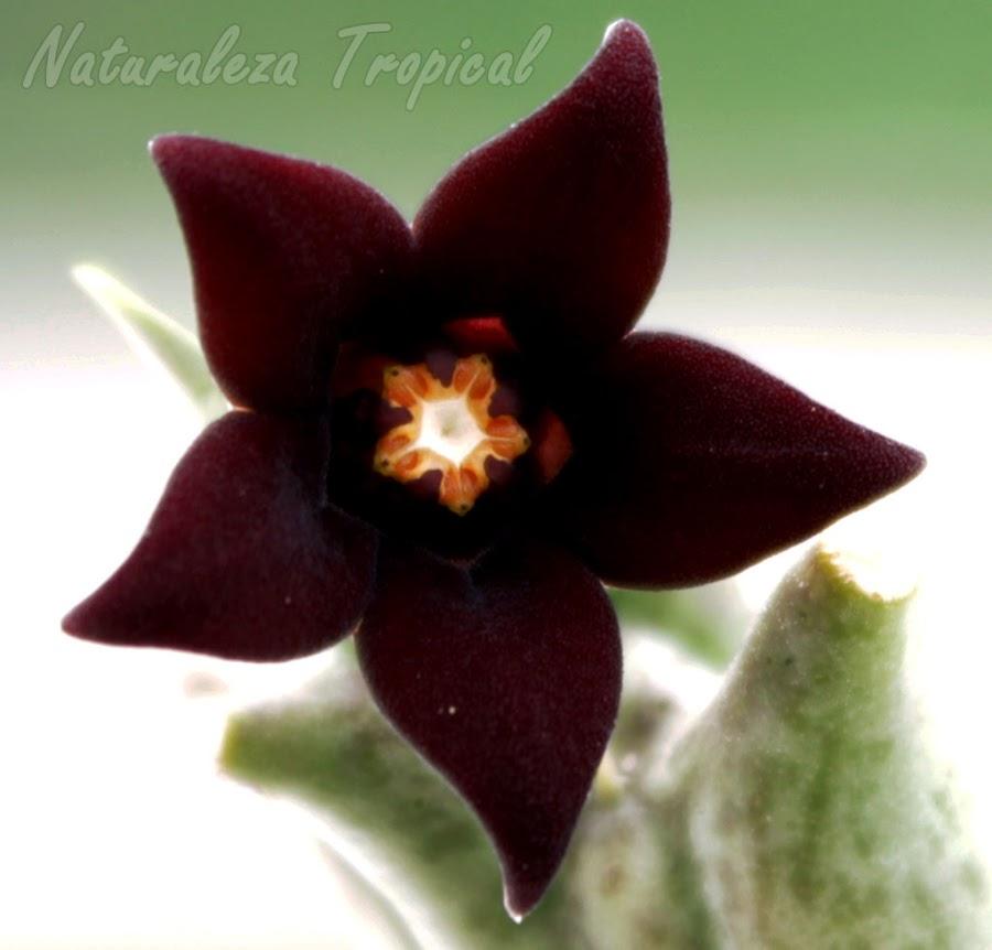 Vista delantera de la flor típica de la Estrella Negra (Orbea decaisneana). Pachycymbium decaisneanum o Caralluma hesperidum