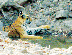 The tigeress lies in the shallow water of the Nala to cool off