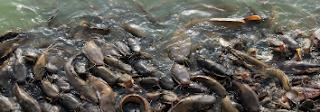 Bioremediasi dalam Aquaculture
