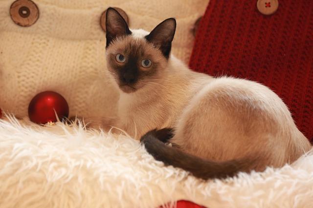 Makanan Kering Terbaik Untuk Kucing Siam