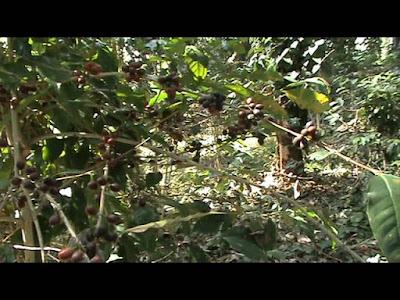 Spice garden, Daringbadi