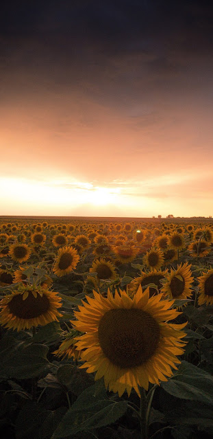 Sunflower field under the sunset sky