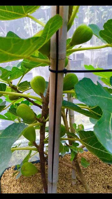 MAROC 23 ( morocco) Figs