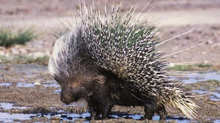 Sex with Porcupine