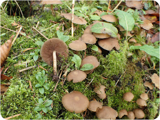 Common Stump Brittlestem, Psathyrella piluliformis.