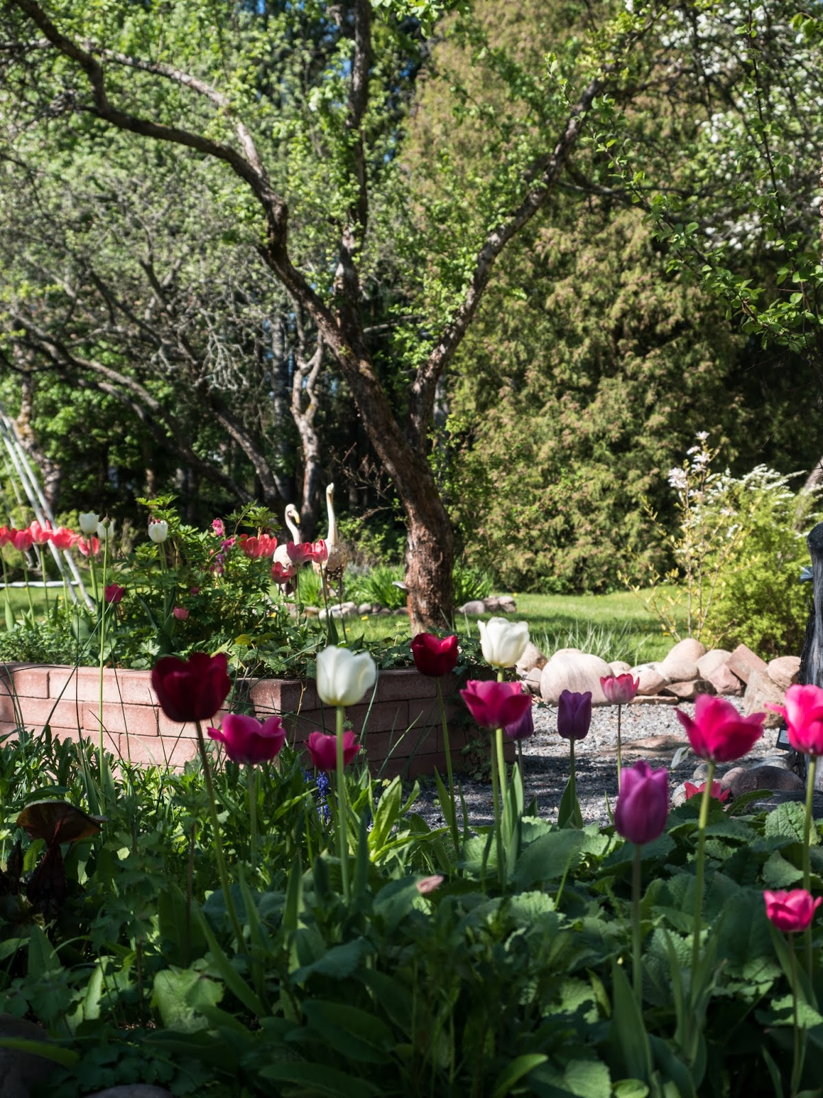 tulppaani puutarha