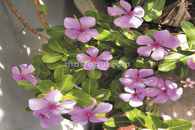 Tanaman Bunga Hias Tapak Dara