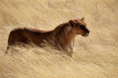 Fogakkal és karmokkal könyv, afrikai ragadozók, oroszlán