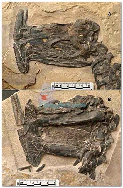 Fosil herbivora atopodentatus – unicus yang ditemukan di Cina dan fosil sempat dikira rusak