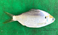 Shortnose Gizzard Shad