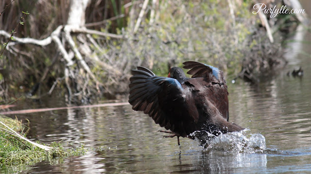 Swamphen rushing food back for her chick