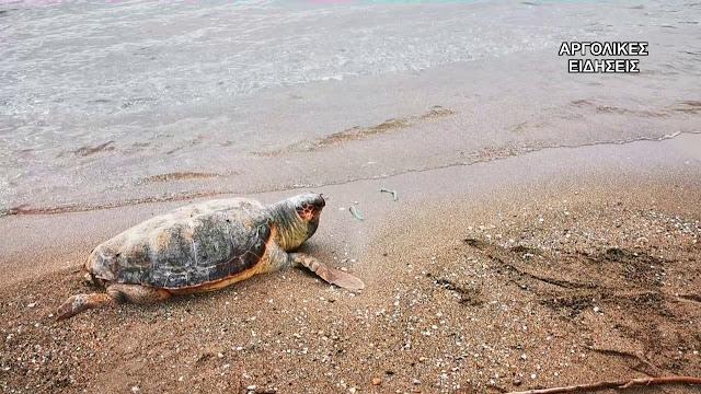 Νεκρή θαλάσσια χελώνα σε παραλία της Παλαιάς Επιδαύρου