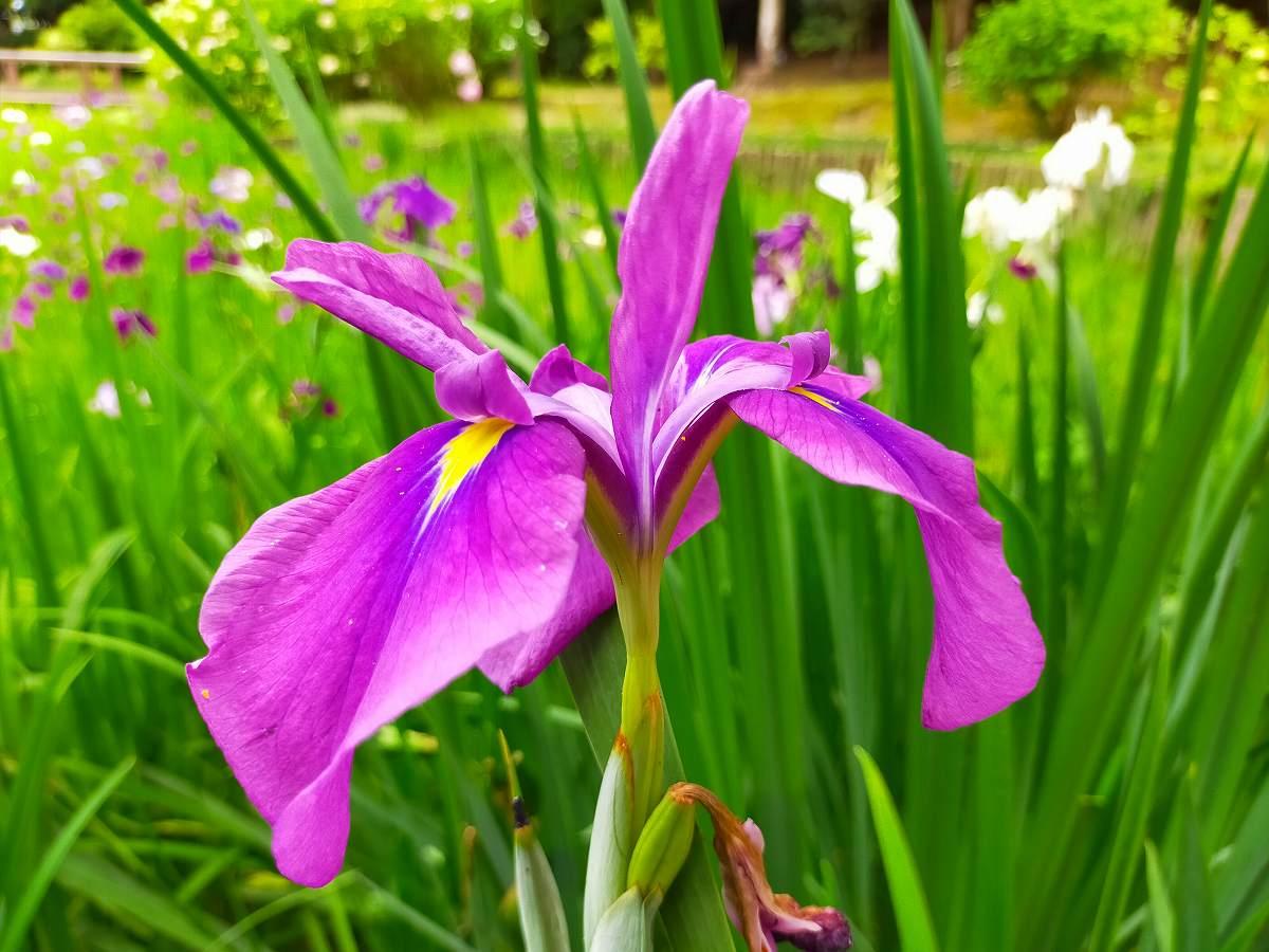 紫の菖蒲の花のアップ。