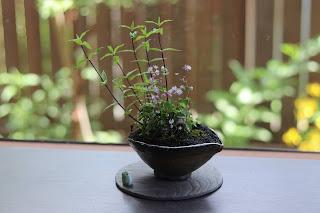 咲いているツクシカラマツ、紫の茎のササリンドウ、小さな葉のイシガキヤクシマスミレの山野草盆栽とカエルの置物