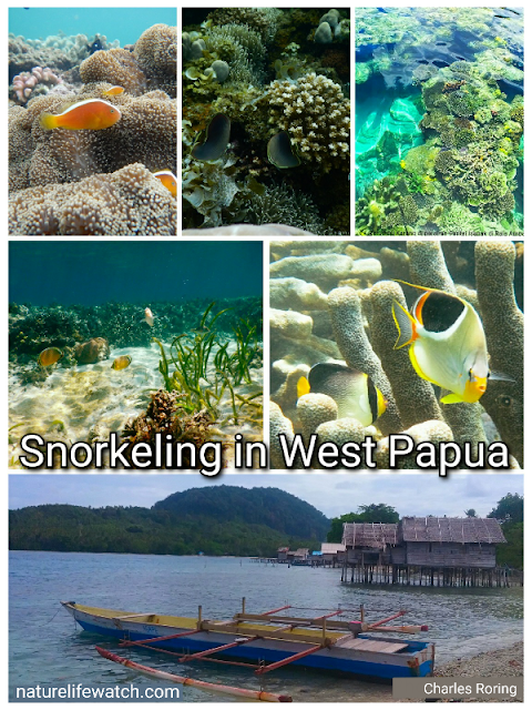 snorkeling in West Papua of Indonesia
