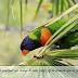 Des perroquets et du maïs