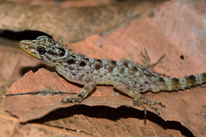 Dlium Muria gecko (Cnemaspis muria)
