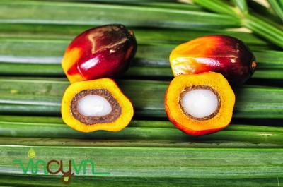 trái cọ dùng để chiết xuất dầu cọ
