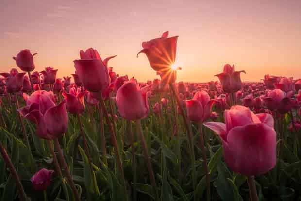 صور زهور الزنبق الجميلة في هولندا