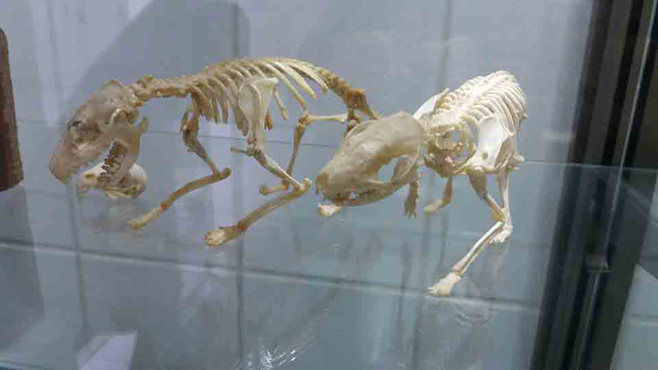 Esqueletos erizos de tierra
