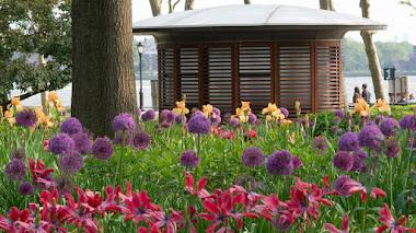 Bulbos de flor de Allium ornamental: cultivo y variedades
