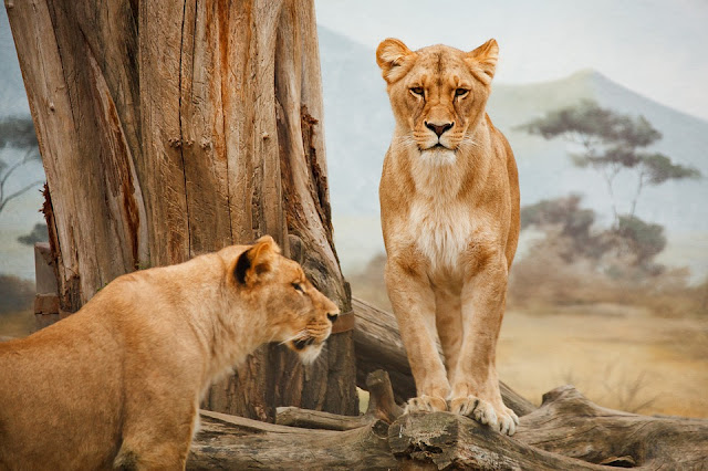 70 interesting facts about lion