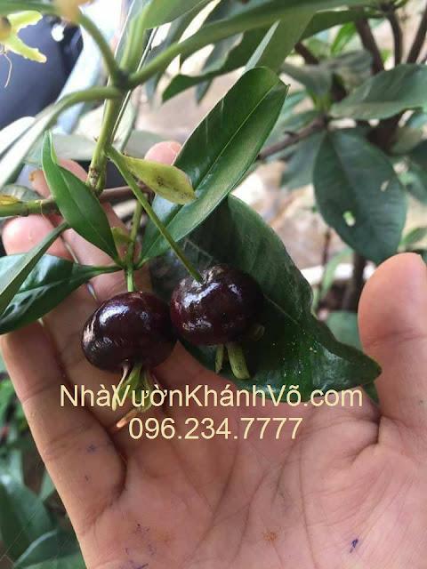 Những đặc điểm của cherry Brazil khiến bạn an tâm khi mua trồng
