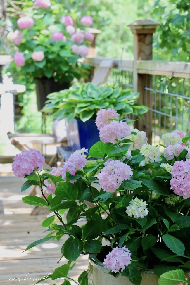 Pink Hydrangeas in Containers on Shady Deck are covered with blooms