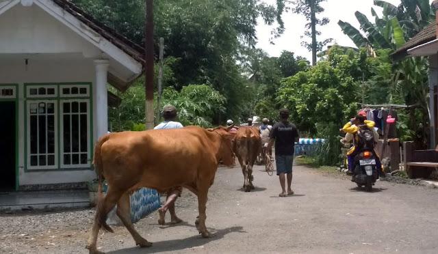 Warga membawa pulang hewan ternak setelah banjir surut
