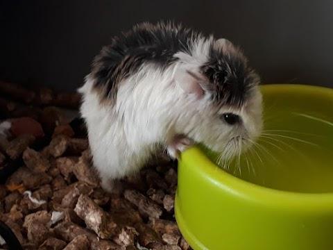 Minion Bob (hámster macho)