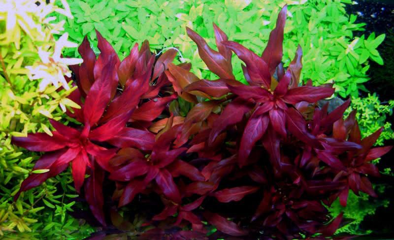 Cây hồng điệp là sự lựa chọn hàng đầu nếu bạn muốn cây đỏ trong hồ thủy sinh
