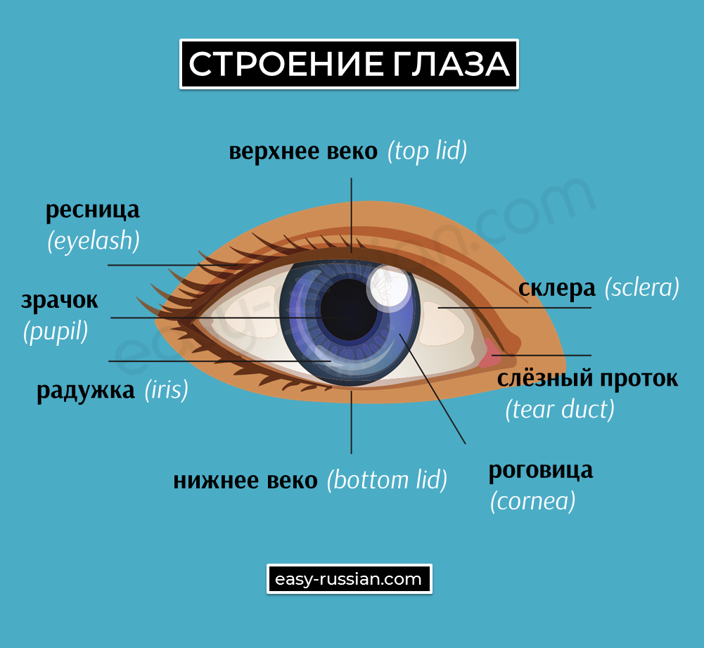 human eye's parts in Russian
