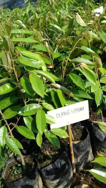 Bibit Durian Merah Tanjungpinang