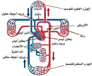 الدورة الدموية داخل جسم الانسان
