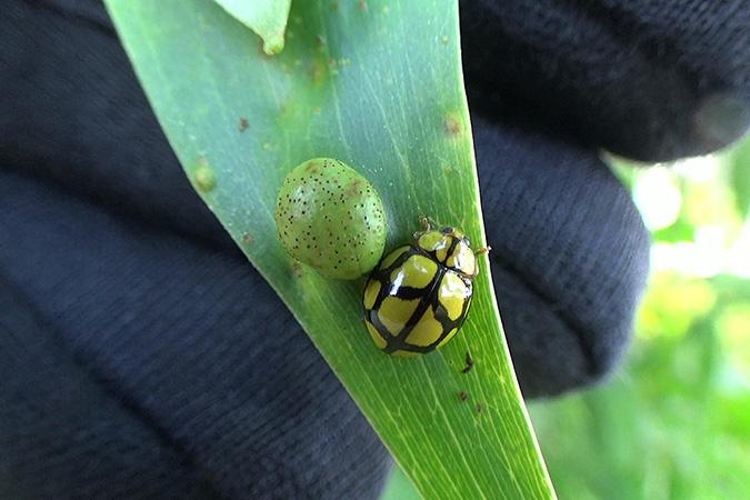 Dlium Jenar lady beetles (Heteroneda billardieri)