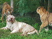 Salah Buka Kandang, Harimau Langka Mati di Tangan 'Saudaranya'