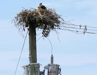 Osprey nest on de-energized electrical pole, PEI, Canada - by Denise Motard