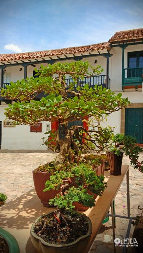 Bonsais en el festival del árbol de Villa de Leyva