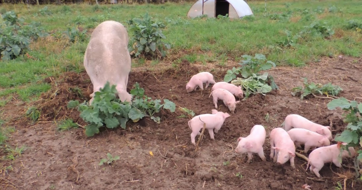 Chester White Pig Meat Quality Pros and Cons ...